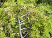 abies-cephalonica-barabits-gold