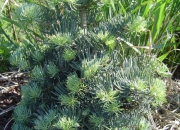 abies-concolor-compacta