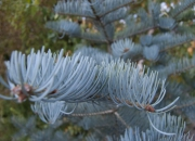 abies-concolor-violacea2
