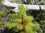abies-concolor-wintergold
