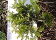 abies-nordmaniana-barabits-compacta