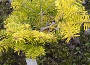 abies-nordmanniana-golden-spreader