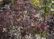 acer-palmatum-garnet