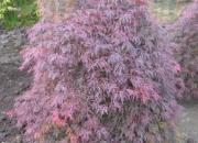 acer-palmatum-orangeola