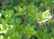 azalea-molis