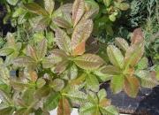 azalea-mollis