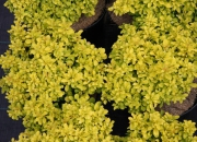 berberis-thunbergii-tiny-gold-2