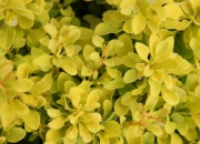 berberis-thunbergii-tiny-gold