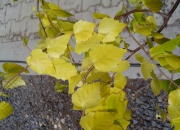 betula-pendula-golden-cloud