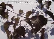 betula-pendula-purpurea