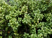 buxus-sempervirens-aureo-variegata-2
