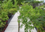 caragana-arborescens-pendula