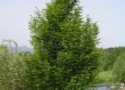 carpinus-betulus-fastigiata