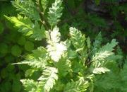carpinus-betulus-quercifolia