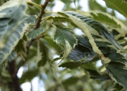 castanea-sativa-variegata-2