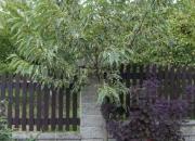castanea-sativa-variegata