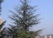 cedrus-libani