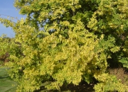 celtis-occidentalis