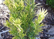 cephalotaxus-haringtoniana-korean-gold