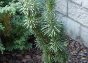 cephalotaxus-harringtonia-fastigiata