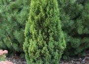 chamaecyparis-lawsoniana-elwoods-gold-2