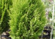 chamaecyparis-lawsoniana-erecta-aurea