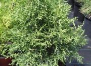 chamaecyparis-lawsoniana-lycopodioides