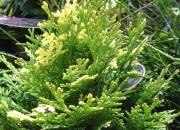 chamaecyparis-lawsoniana-pygmaea-argentea
