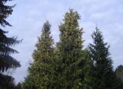 chamaecyparis-nootkatensis-variegata