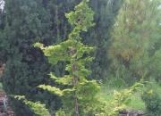 chamaecyparis-obtusa-rashahiba