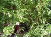 chamaecyparis-pisifera-albovariegata