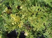 chamaecyparis-pisifera-aureovariegata-nana