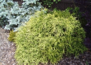 chamaecyparis-pisifera-golden-mop