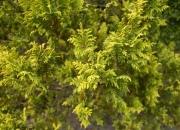 chamaecyparis-pisifera-plumosa-aurea-2
