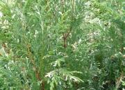 chamaecyparis-pisifera-variegata