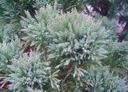 cryptomeria-japonica-broom