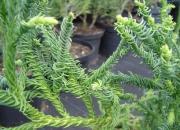 cryptomeria-japonica-spiralis