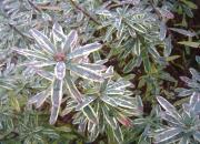 daphne-cneorum-variegatum