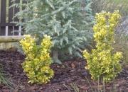 euonimus-japonicus-variegatus