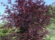 fagus-silvatica-atropurpurea