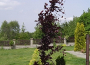 fagus-silvatica-dawyck-purple