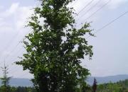 fagus-silvatica-dawyck