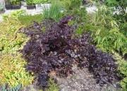 fagus-silvatica-tortuosa-purpurea