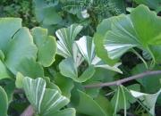 ginkgo-biloba-variegata