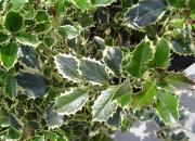 ilex-aquifolia-variegata