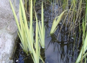 iris-pseudoacorus-variegata