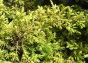 juniperus-communis-depresa-aurea