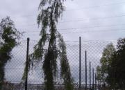 juniperus-communis-oblonga-pendula2