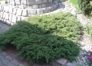 juniperus-comunis-repanda
