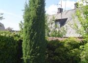 juniperus-comunis